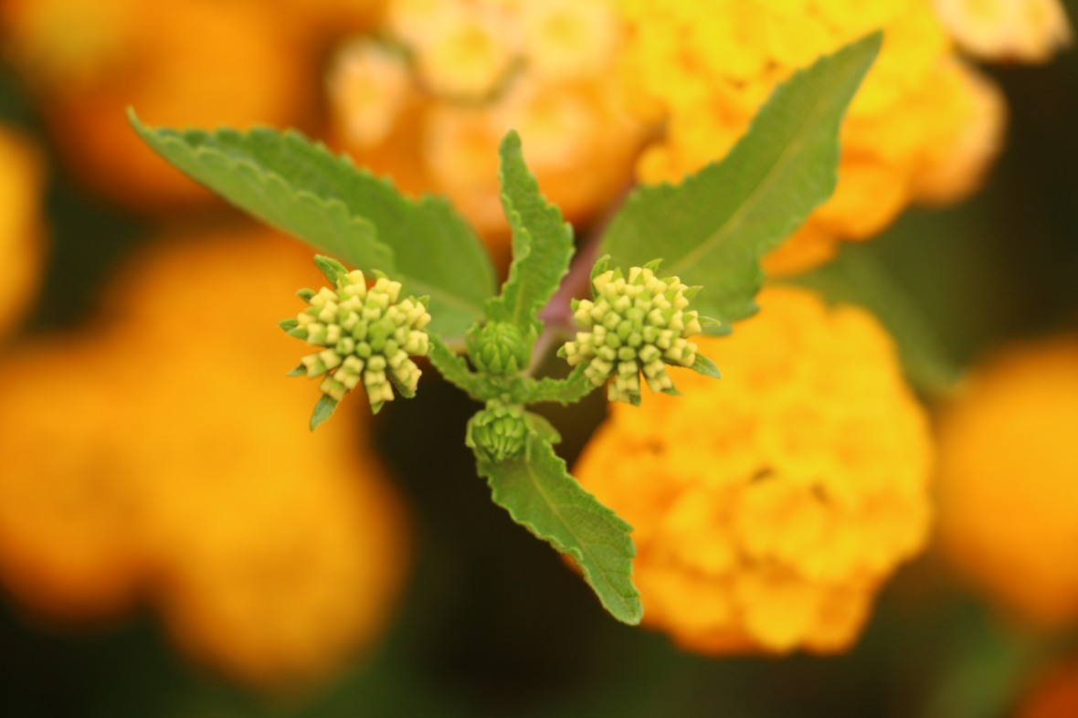 """Golden Lantana Buds"""