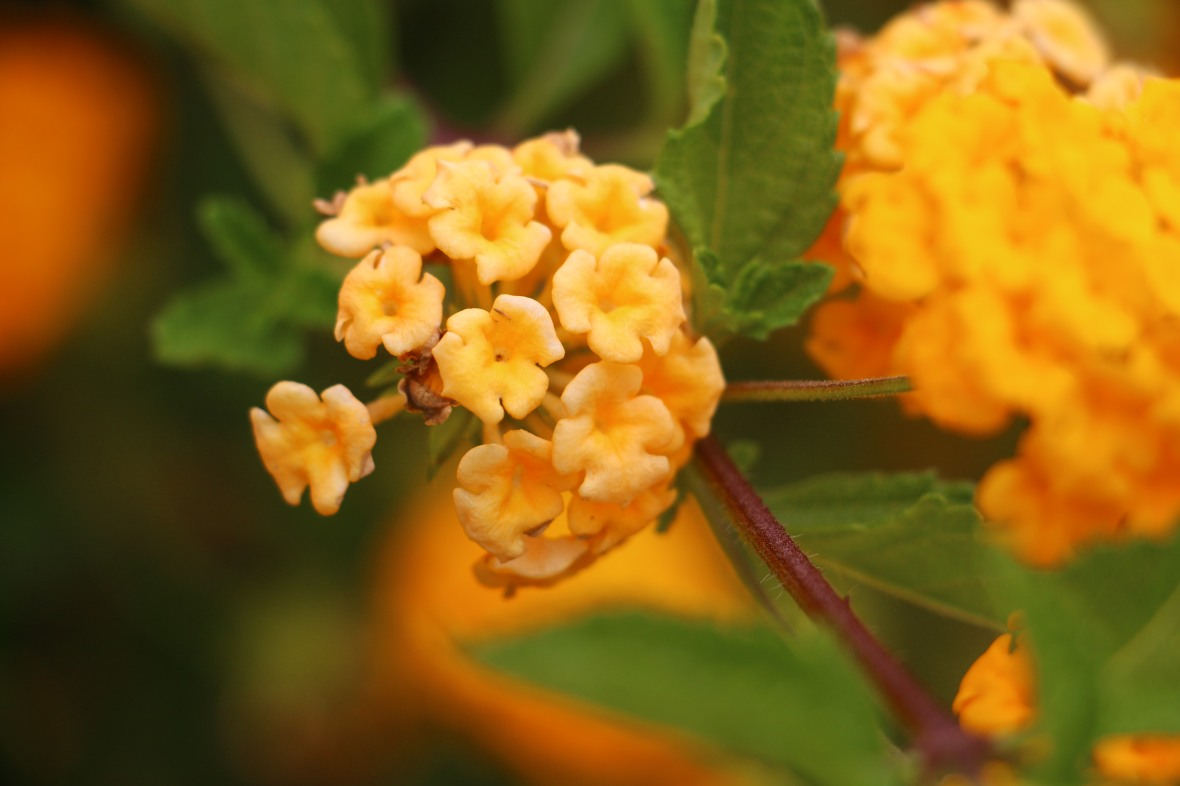 Golden Lantana Right Profile