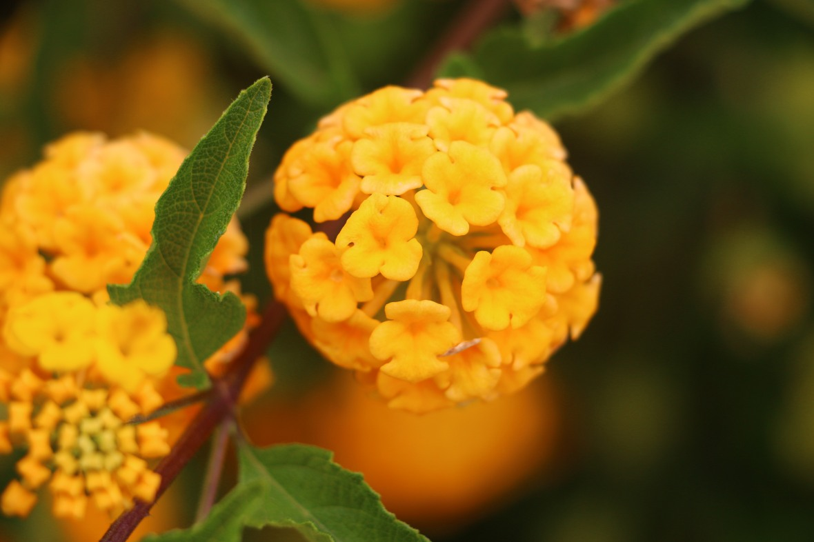 Golden Lantana Left Profile