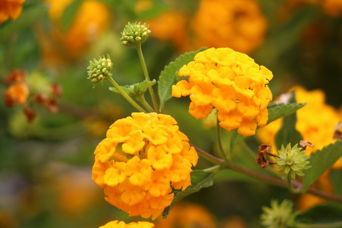 Golden Lantana Twin Profile Right