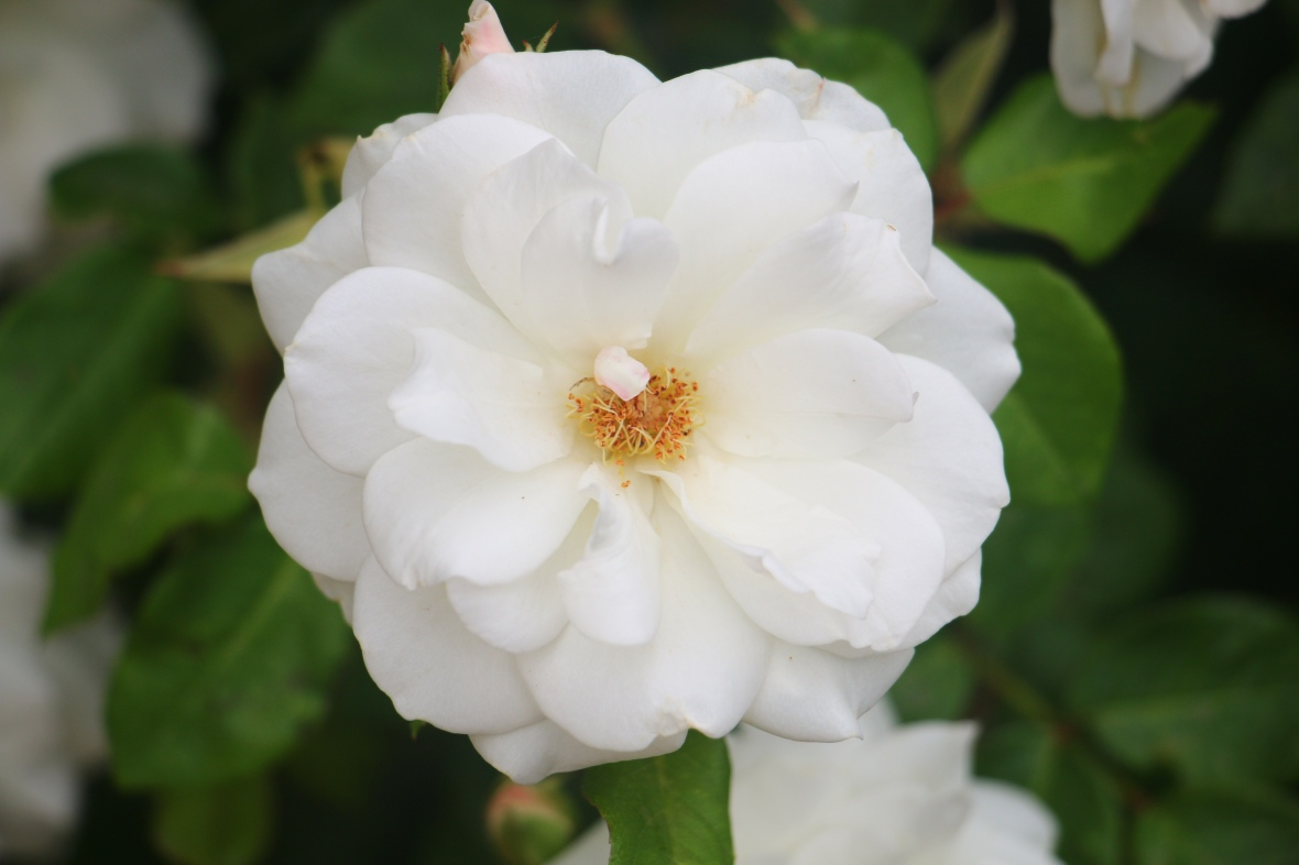 Ecuadorian White Rose