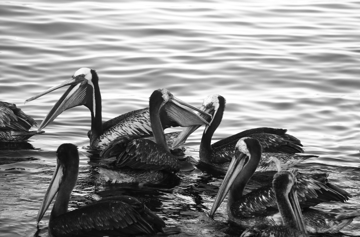 B + W Los Pelicanos The Meeting