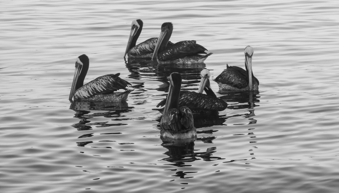 Los Pelicanos B + W (The Circle)
