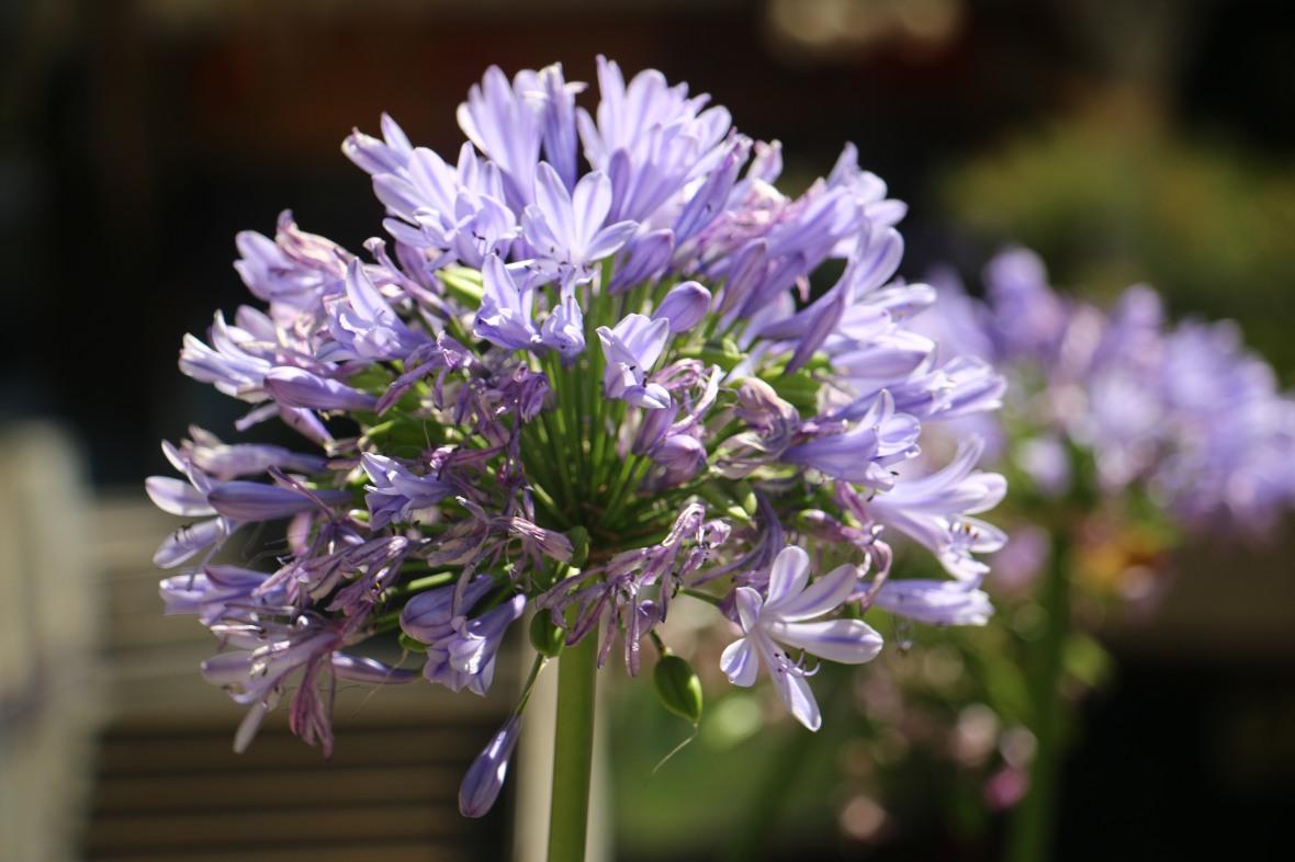 Lavender Agapanthus Cluster