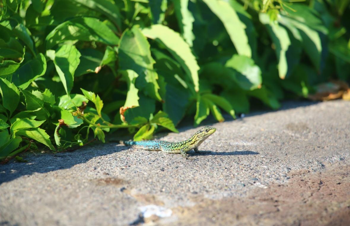 Reptile Portrait Series: Reptiles of Chile