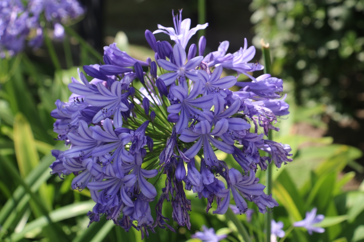 Lavender Agapanthus Bloom Cluster