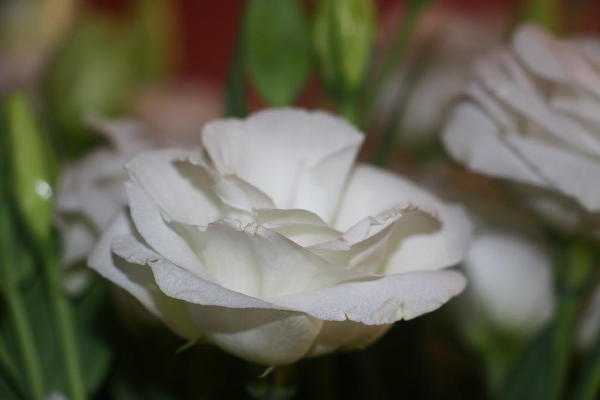 """White Lisianthus """"3"""""""