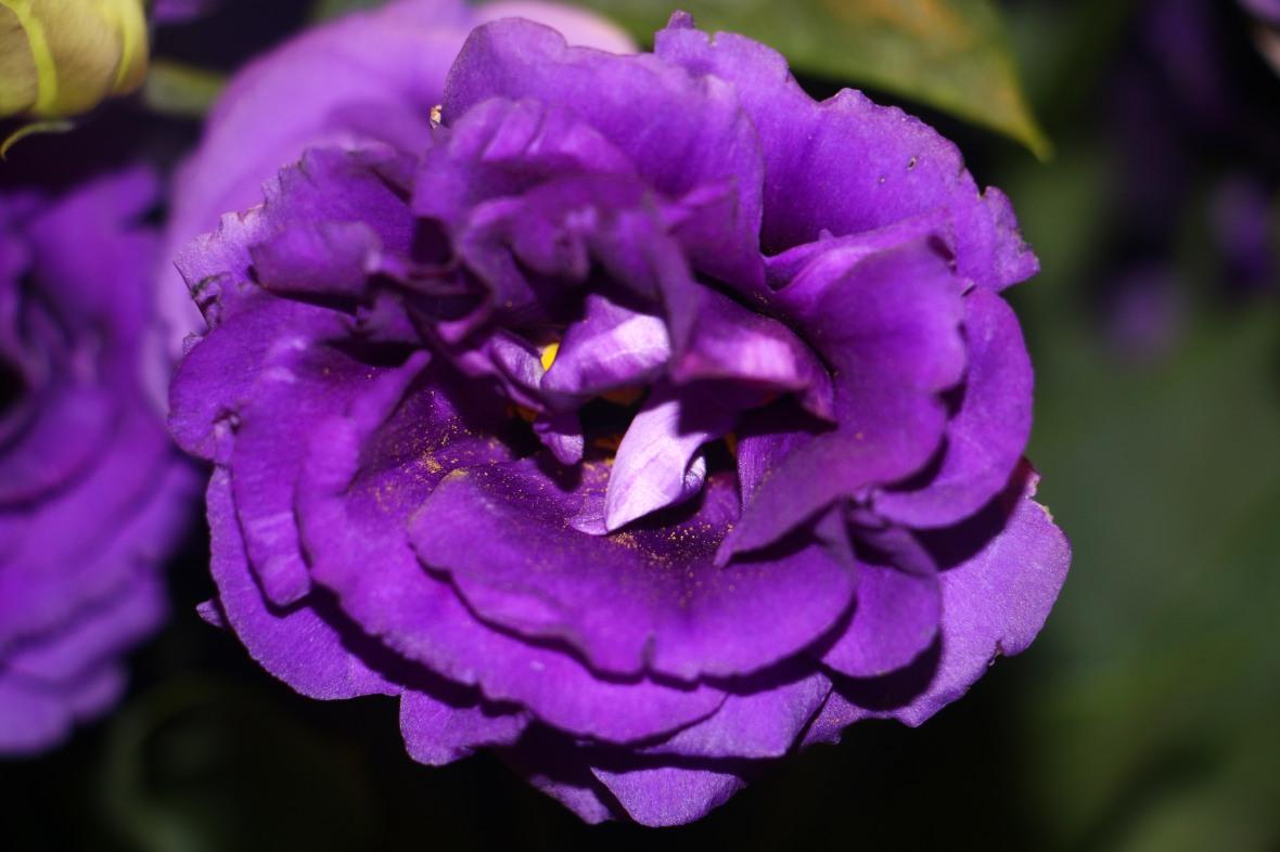Purple Lisianthus Maelstrom