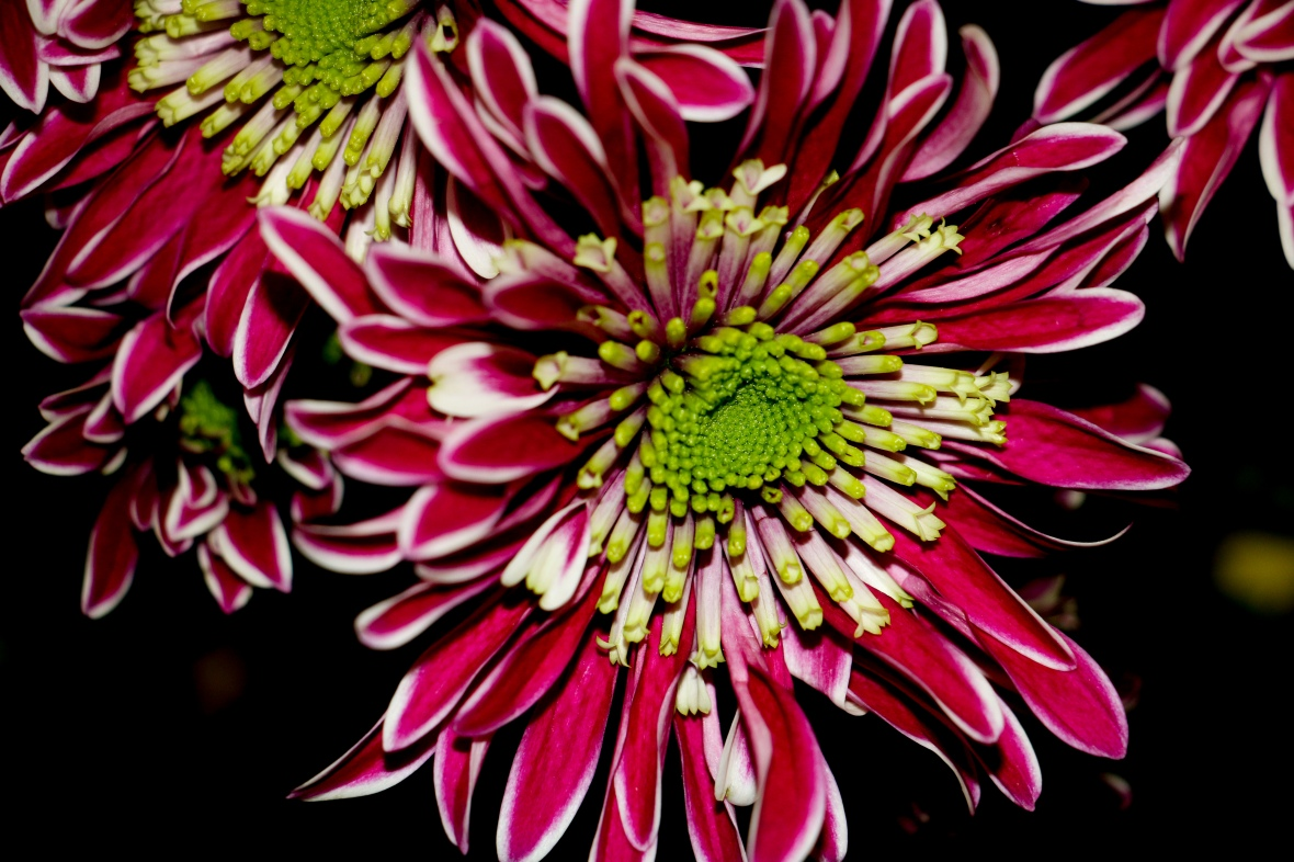 Red White & Green Japanese Daisies II
