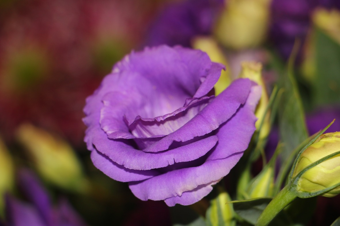 Purple Lisianthus 5