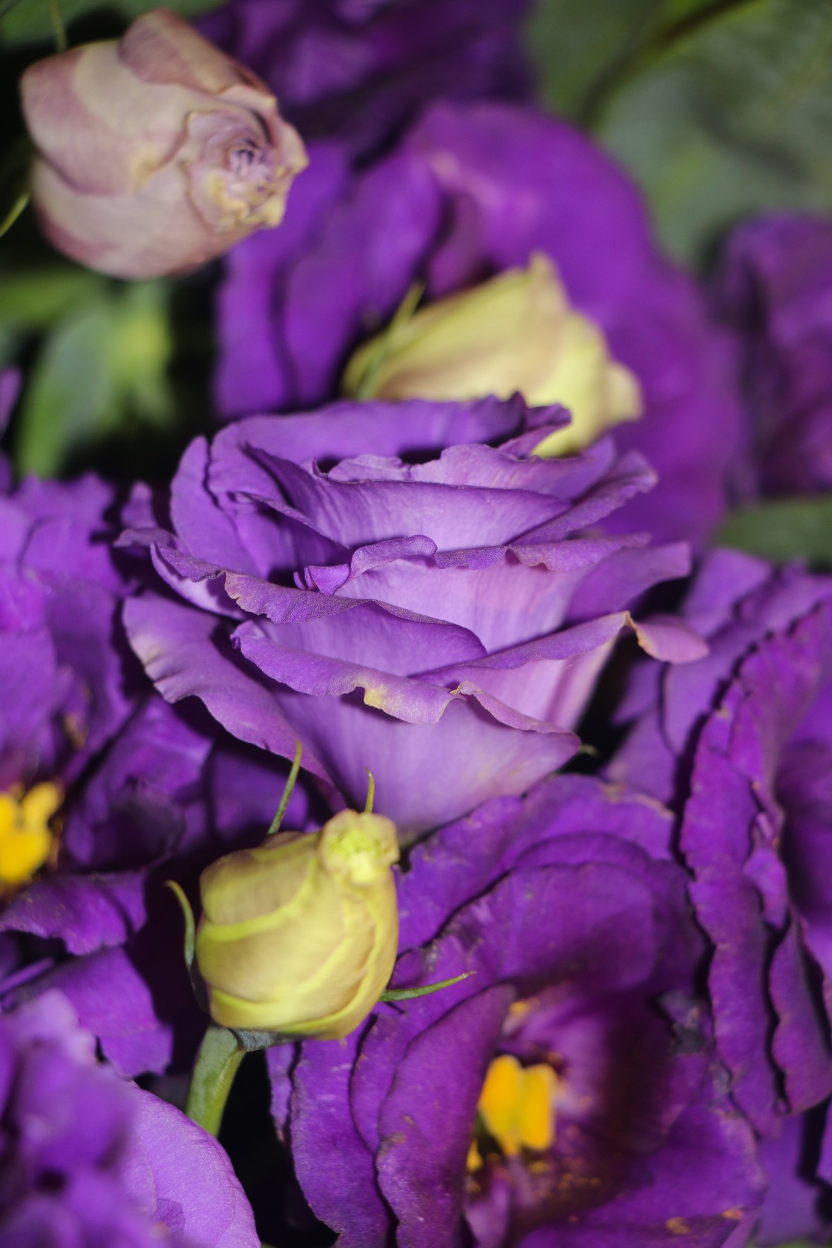 Purple Lisianthus 6