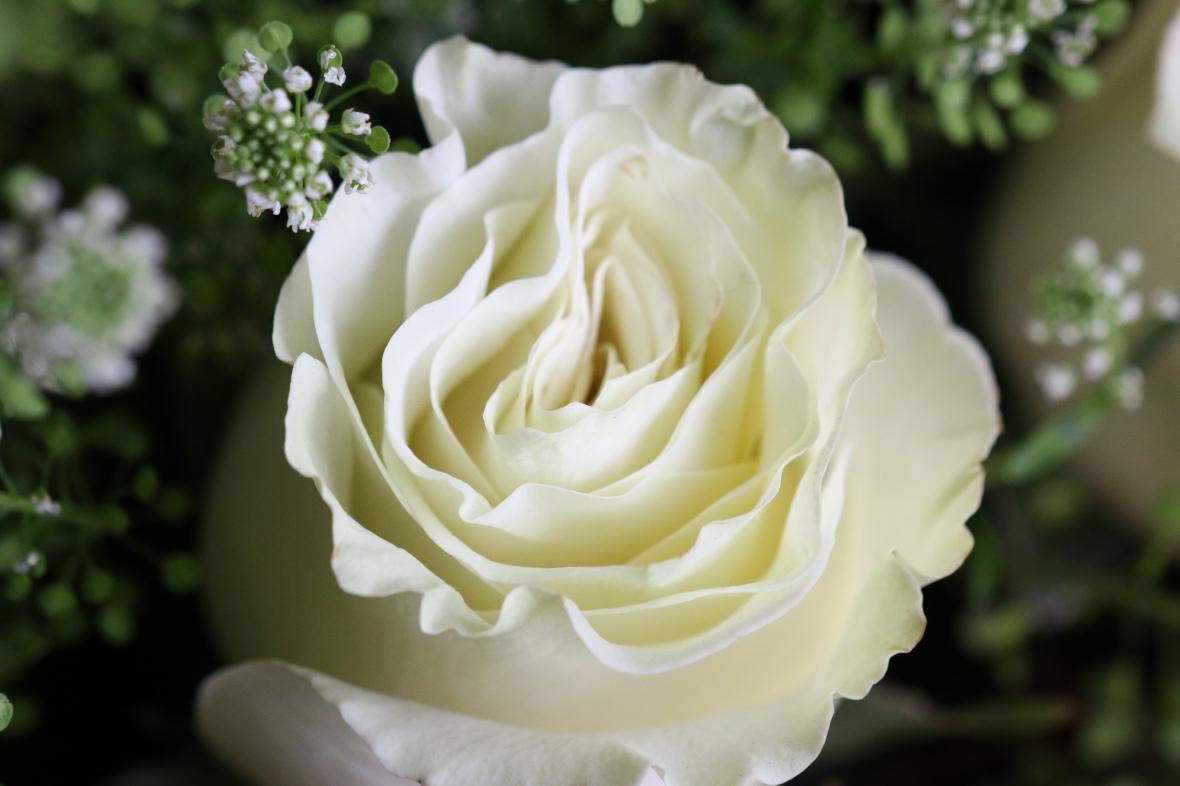 Roses of Valentine: Soft White Rose