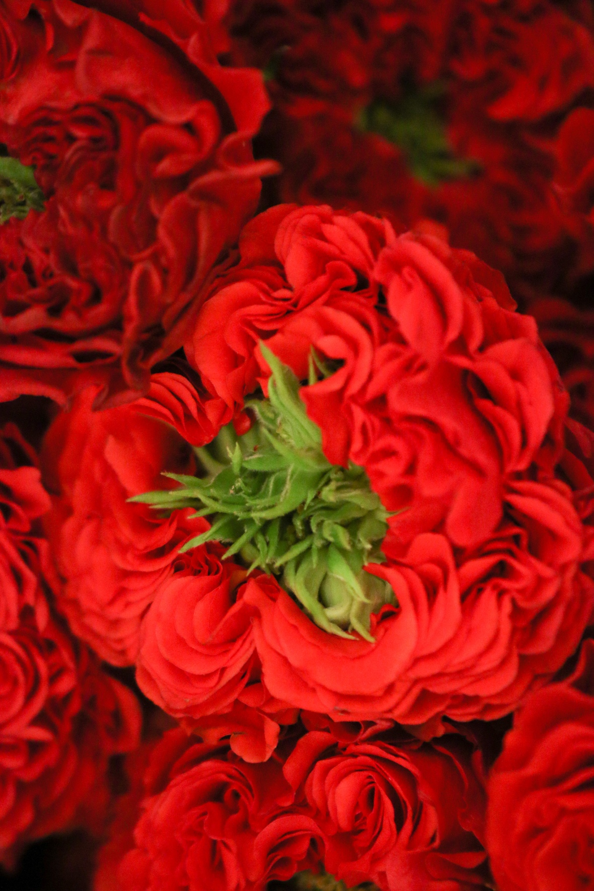 Roses of Valentine: Green Eyed Red