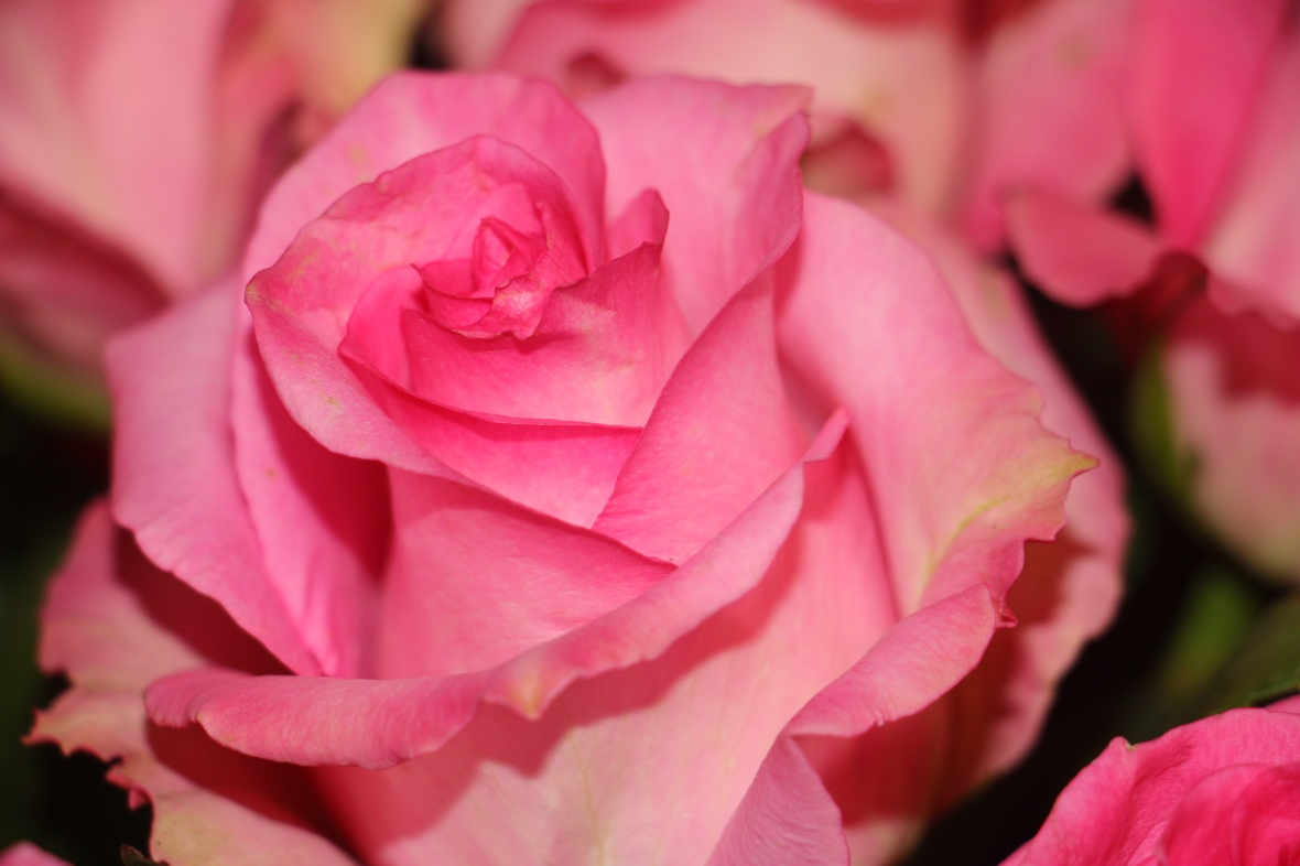 Roses of Valentine High Pink 2