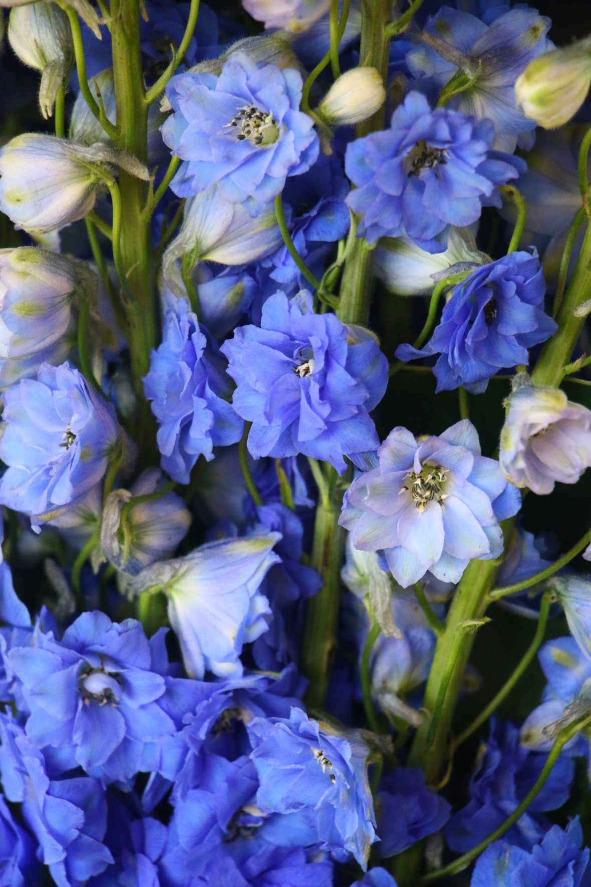 Open Blue Delphiniums IV