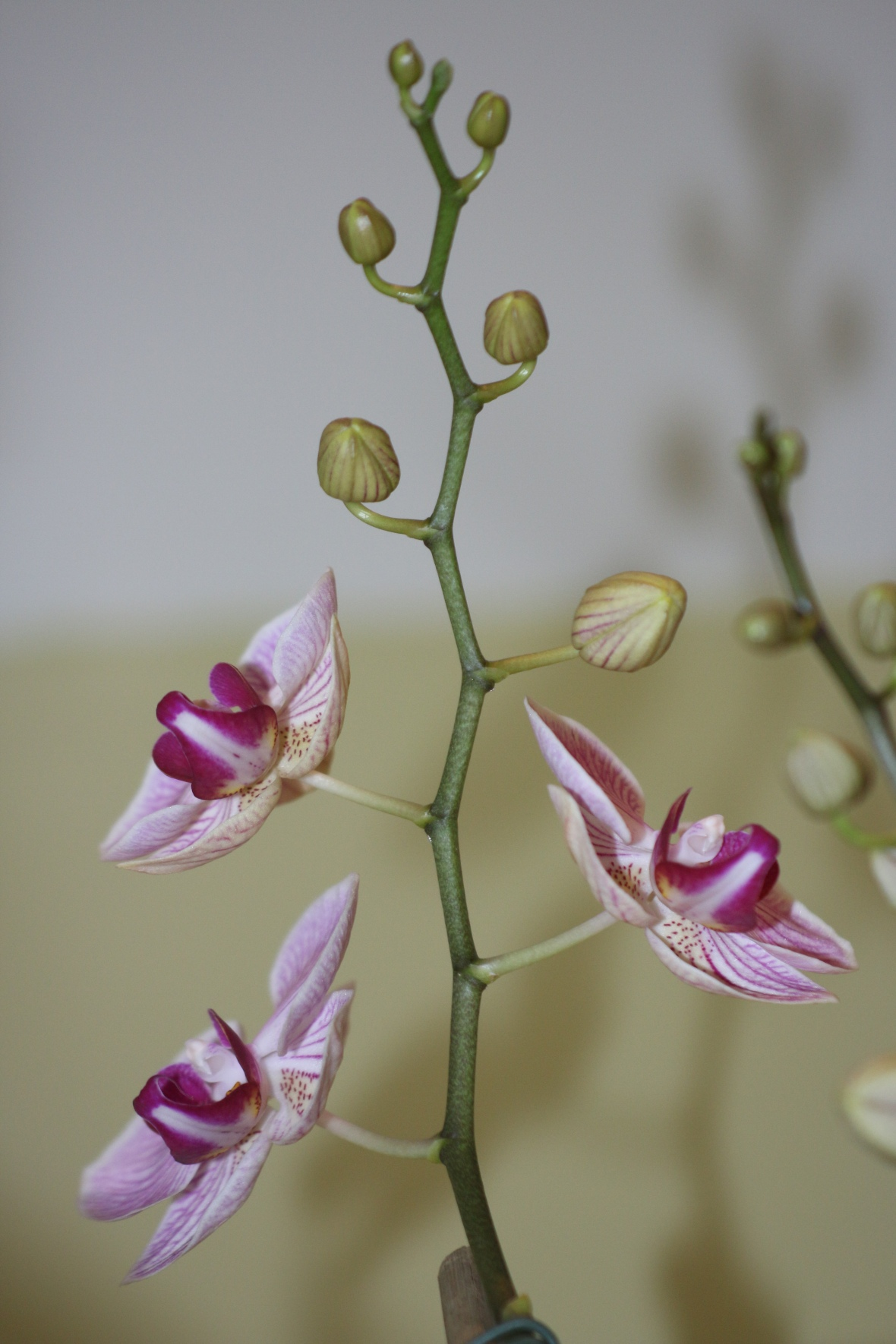 White & Purple Throated Orchids