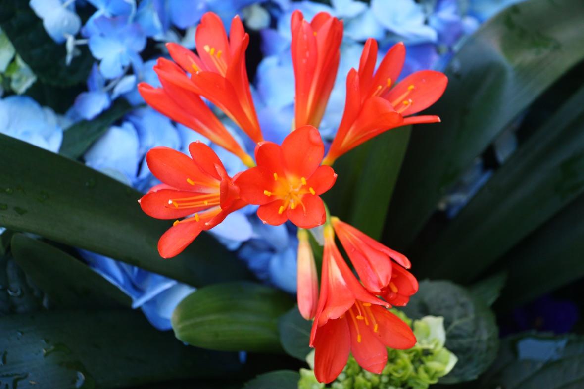 Floral Portrait Series: Clivia