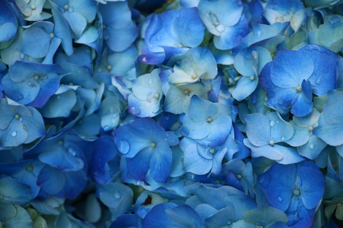 Floral Portrait Series: Blue Hydrangea misted