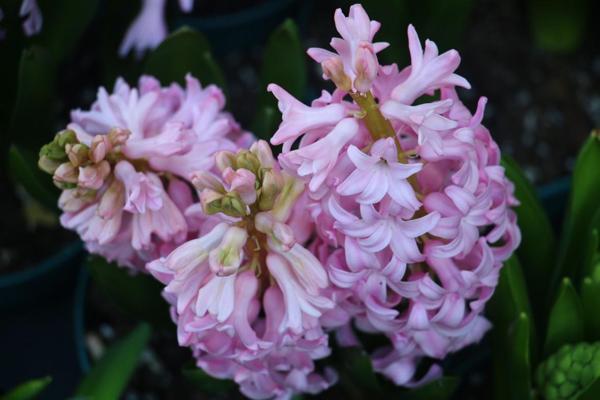 Pink Hyacinths II