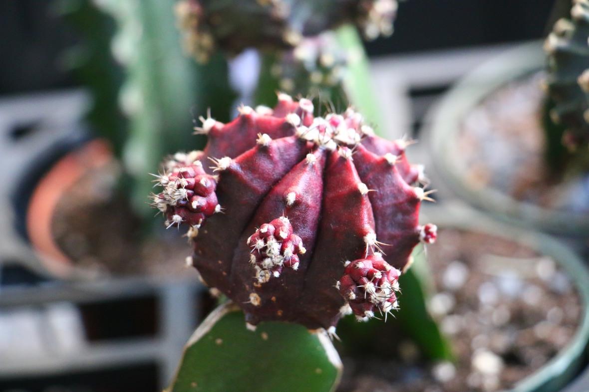 Maroon Moon Cactus