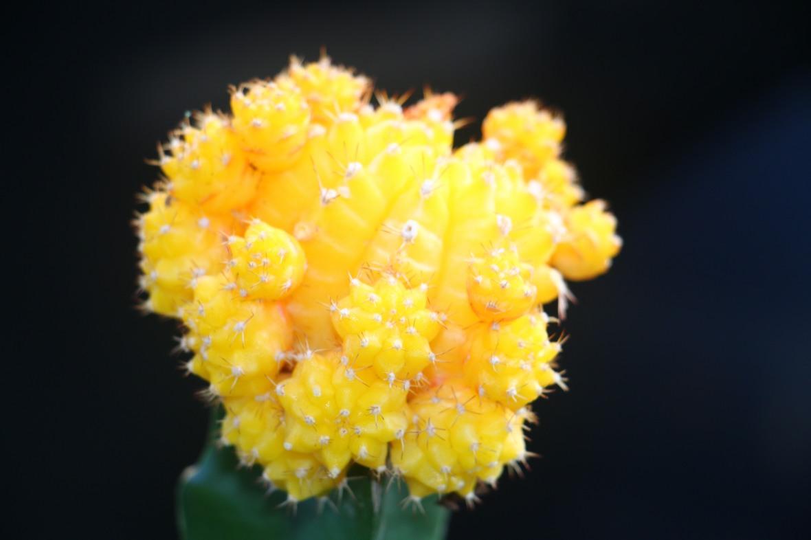 Yellow Moon Cactus