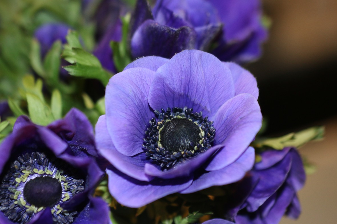 Purple Anemones
