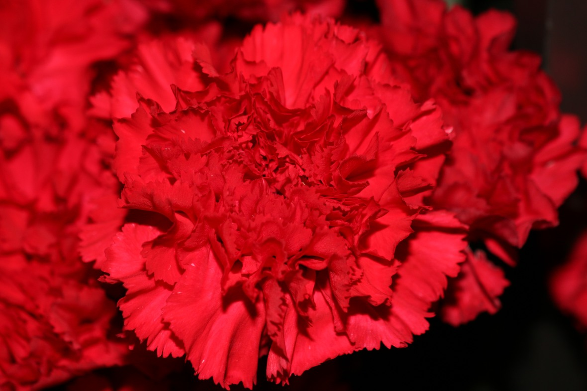 Floral Portrait Series: Red Carnations