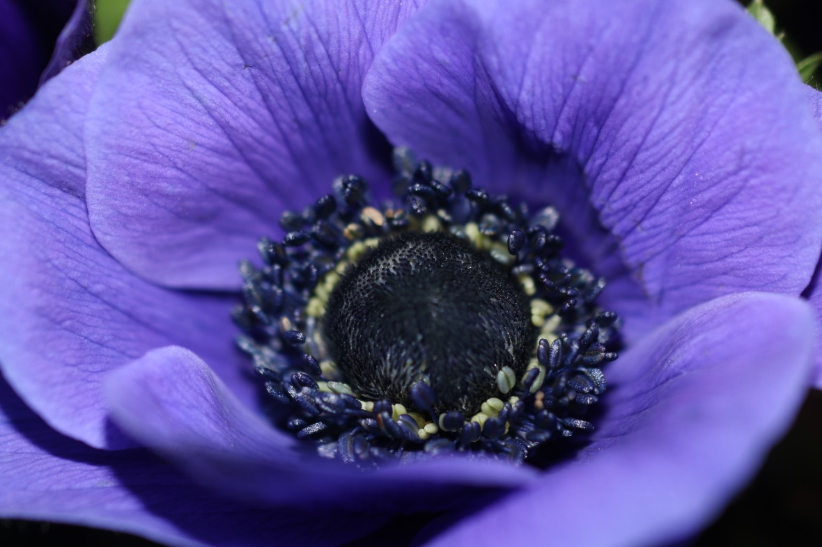 Center Of A Purple Anemone