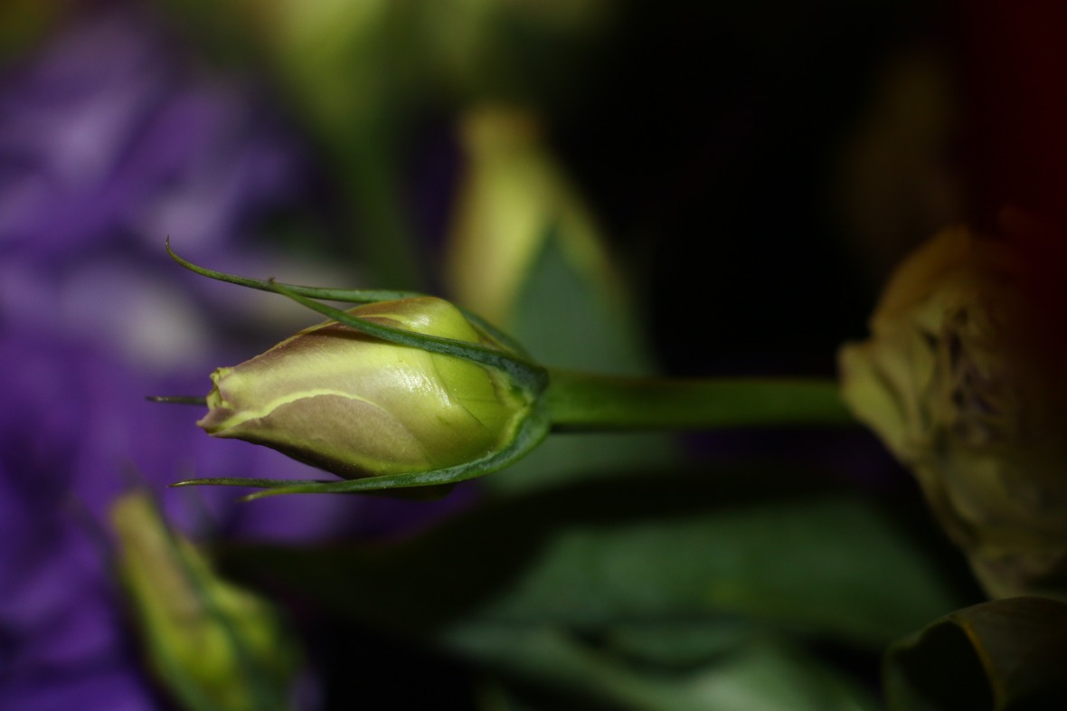 Lancing Bud of Purple Lisianthus