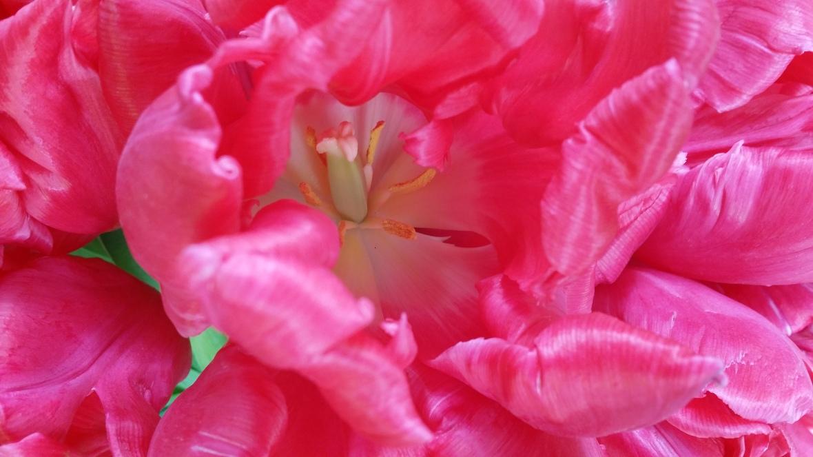 Hot Pink Parrot Tulips (Macro)