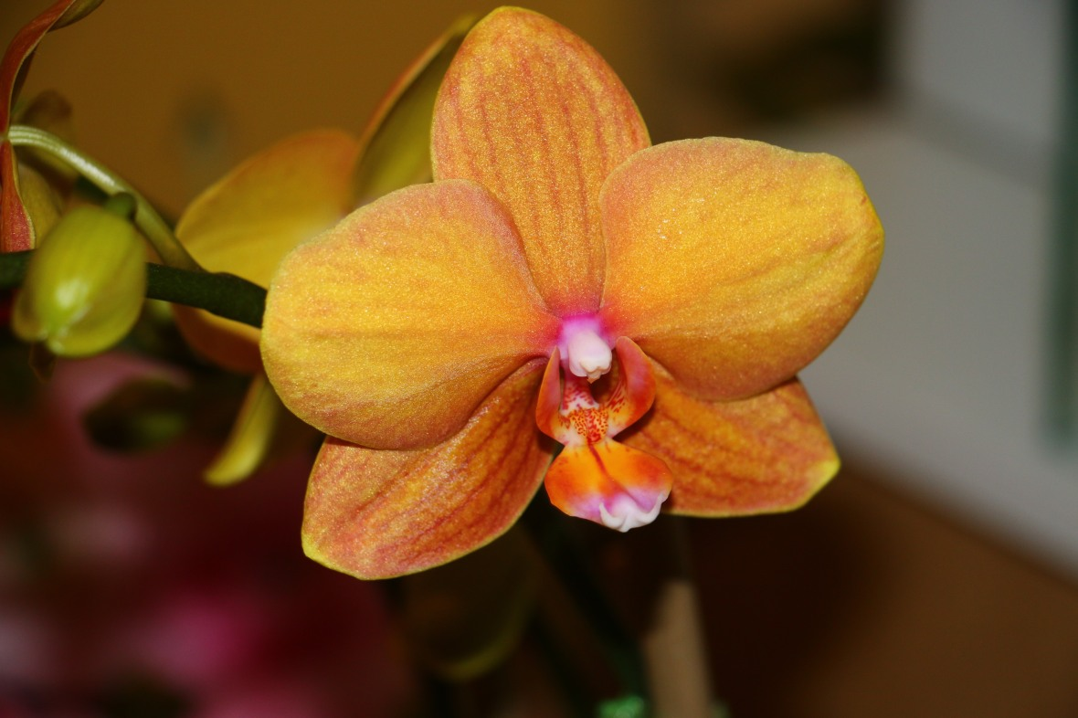 Golden Honey & Pink Throated Phalaenopsis Orchid