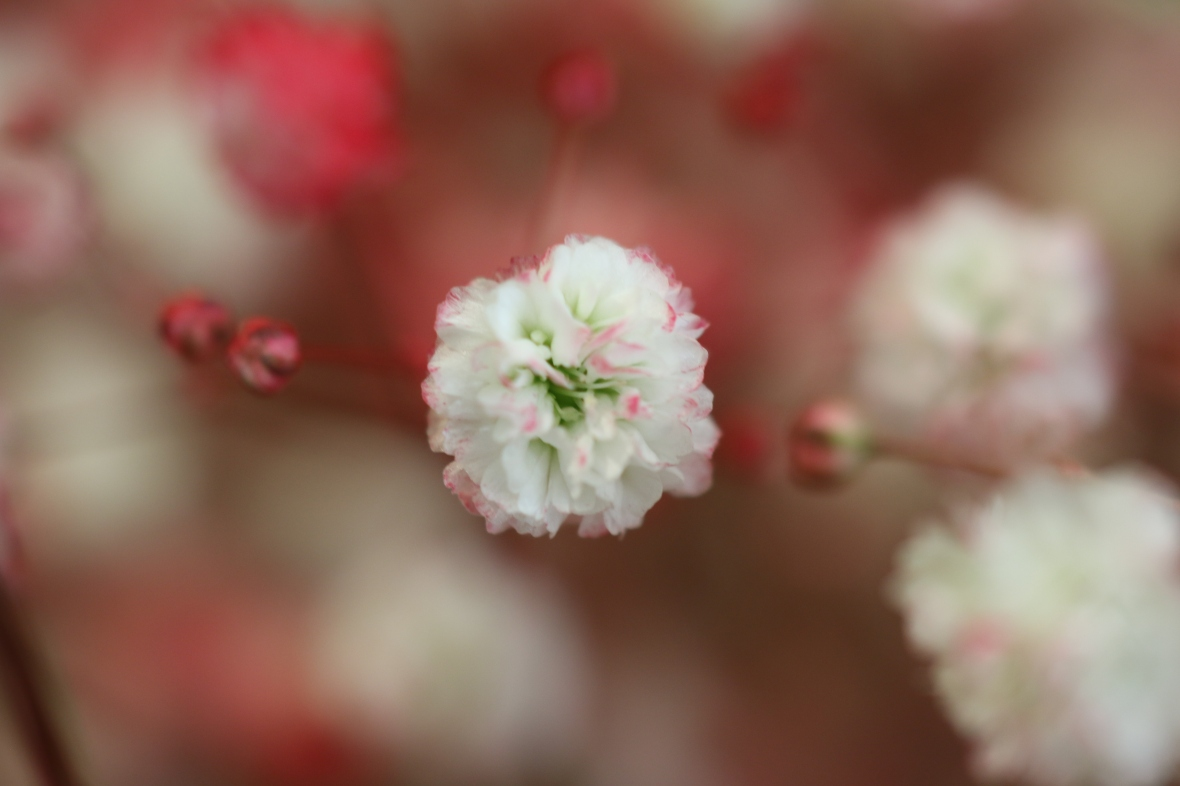 Red Pink & White Baby's Breath Macro