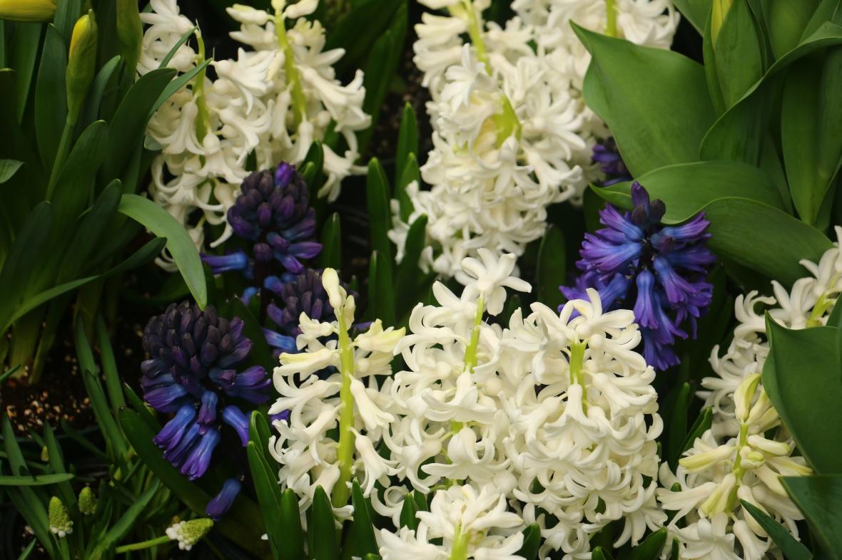 White & Blue Hyacinths II