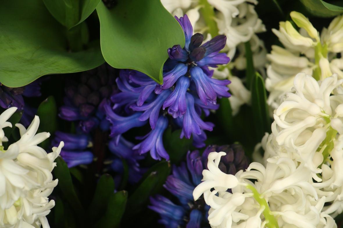 White & Blue Hyacinths