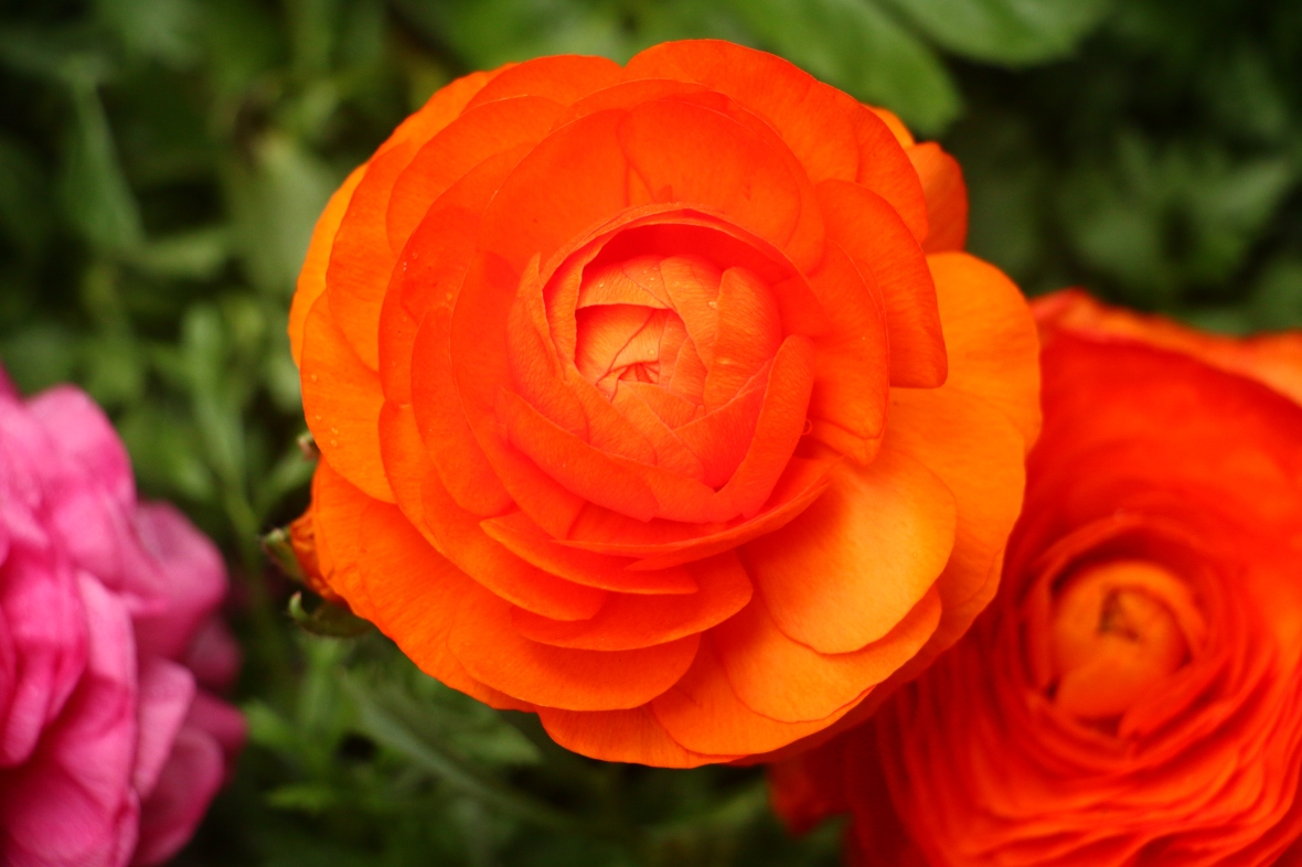 Sunkist Orange Rananculus