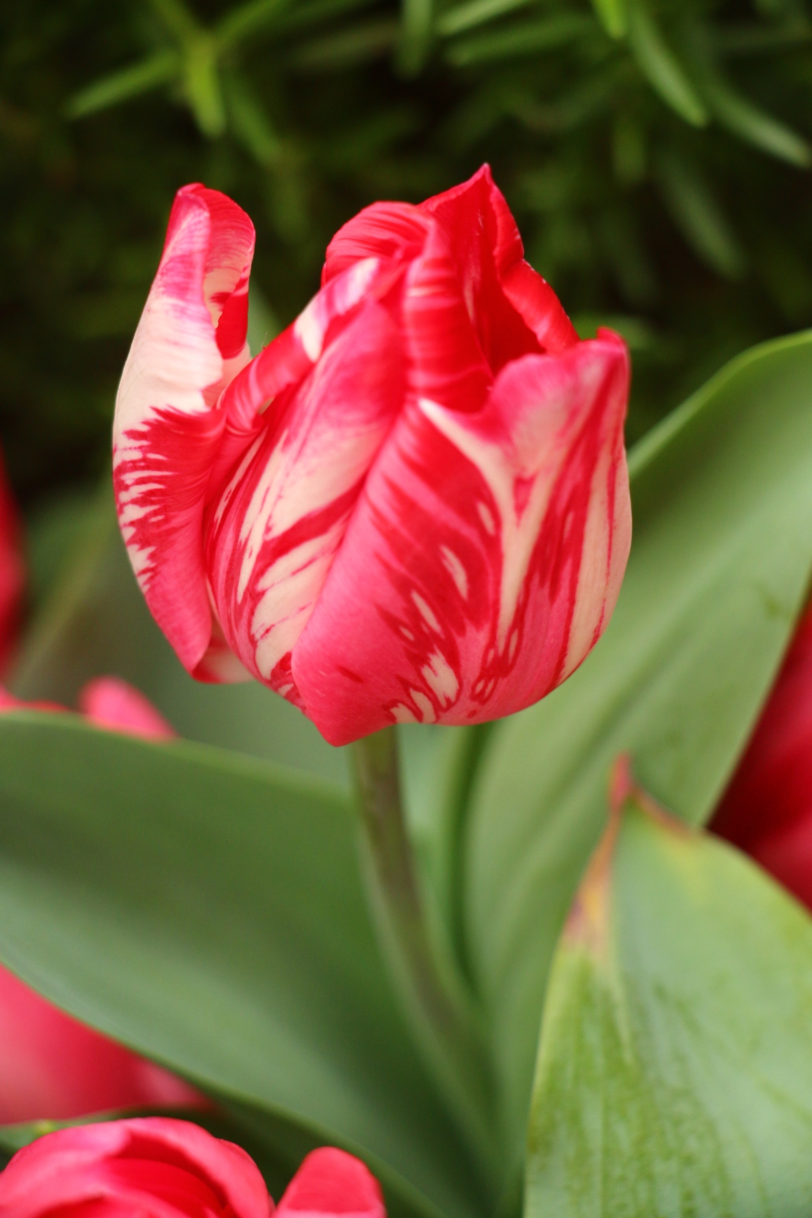 Variegated Red & White Tulip Macro II