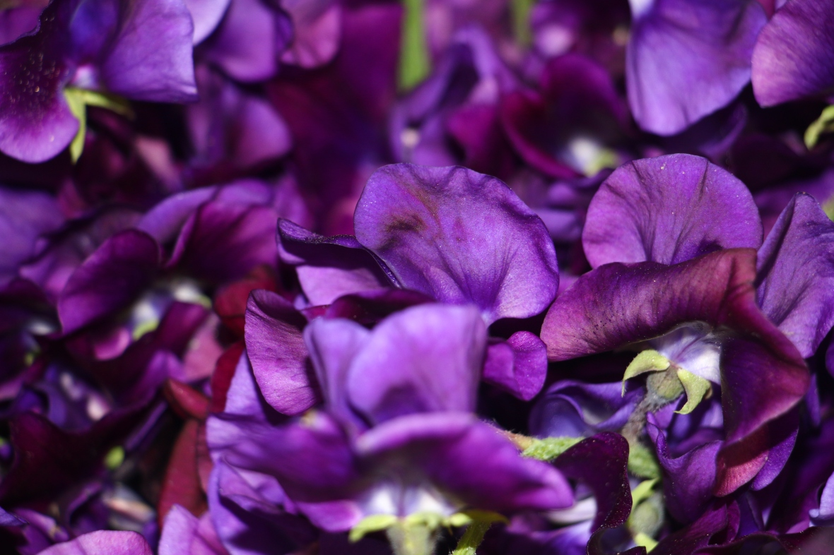 Deep Purple Sweet Pea aka Lathryus Real (Macro)