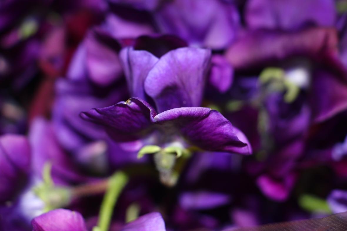 Sweet Pea aka Lathryus Real Deep Purple (Macro)
