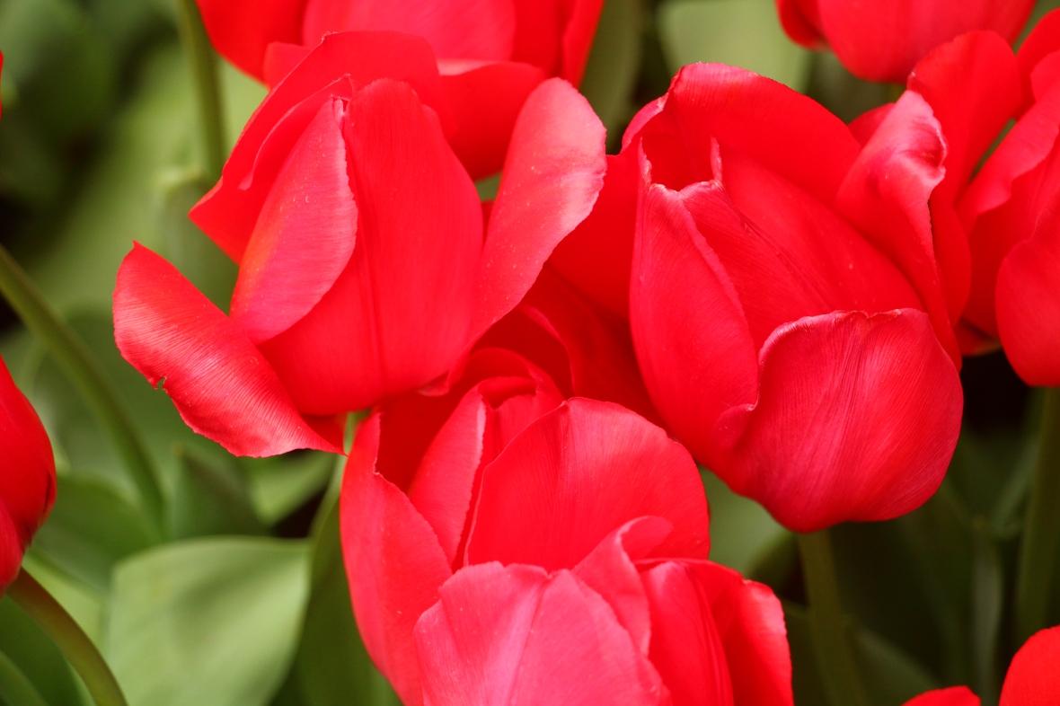 Red Tulips Macro