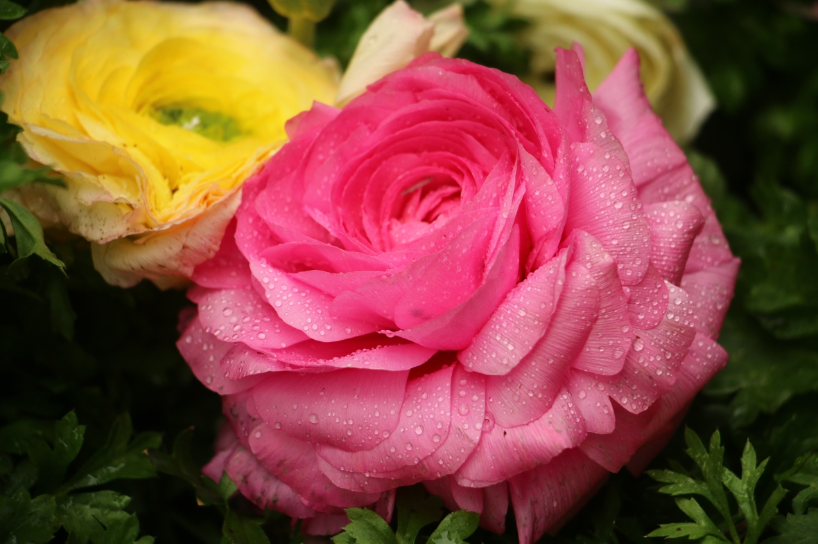 Yellow & Hot Pink Rananculus Macro II