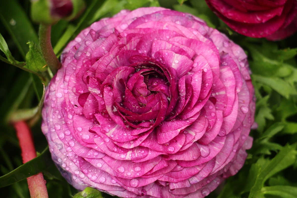 "Dark Pink ""Rain Kissed"" Rananculus (Macro) II"
