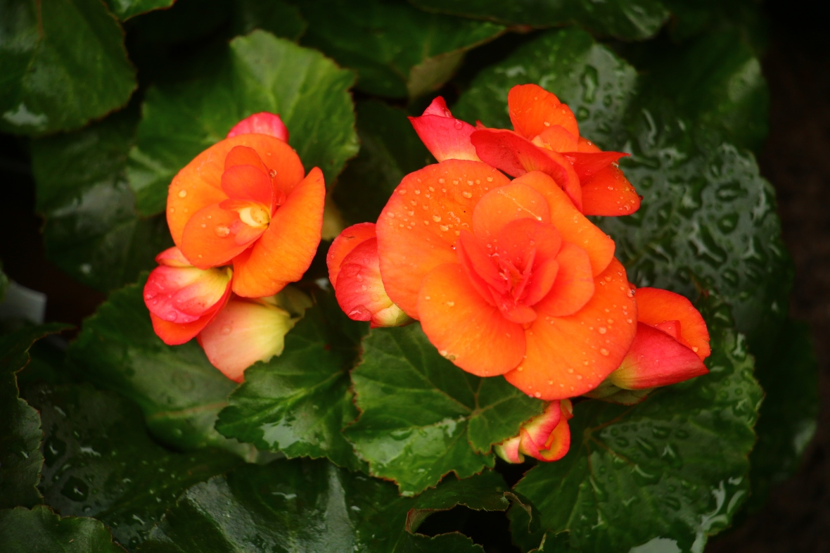 Orange Begonias II