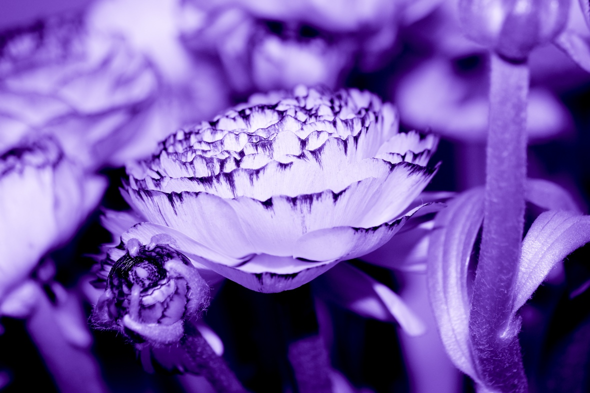 The Rananculus: Purple Haze