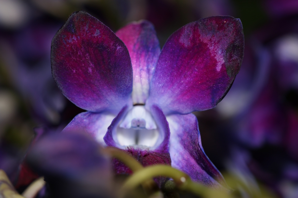 Dark Purple Orchid (Macro)