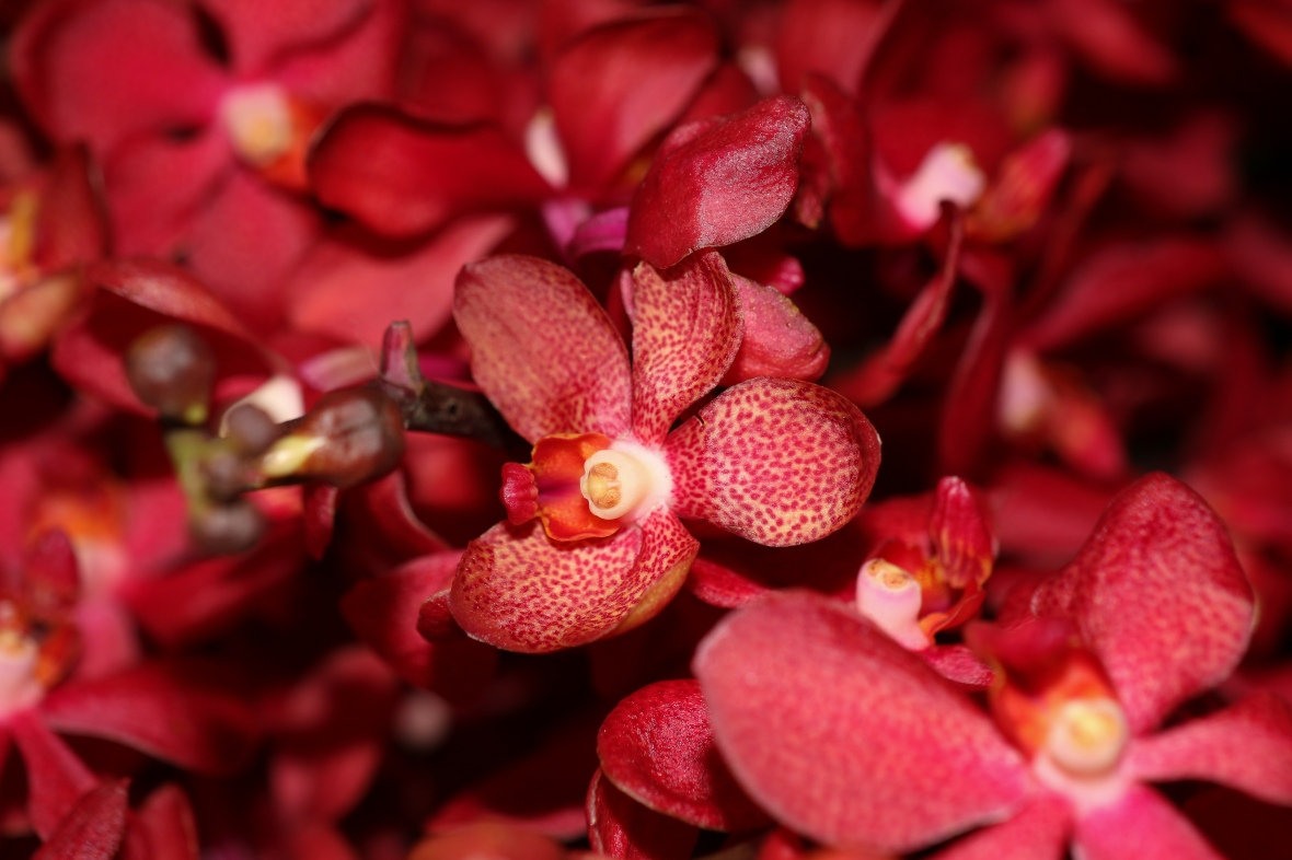 Red Speckled Orchid