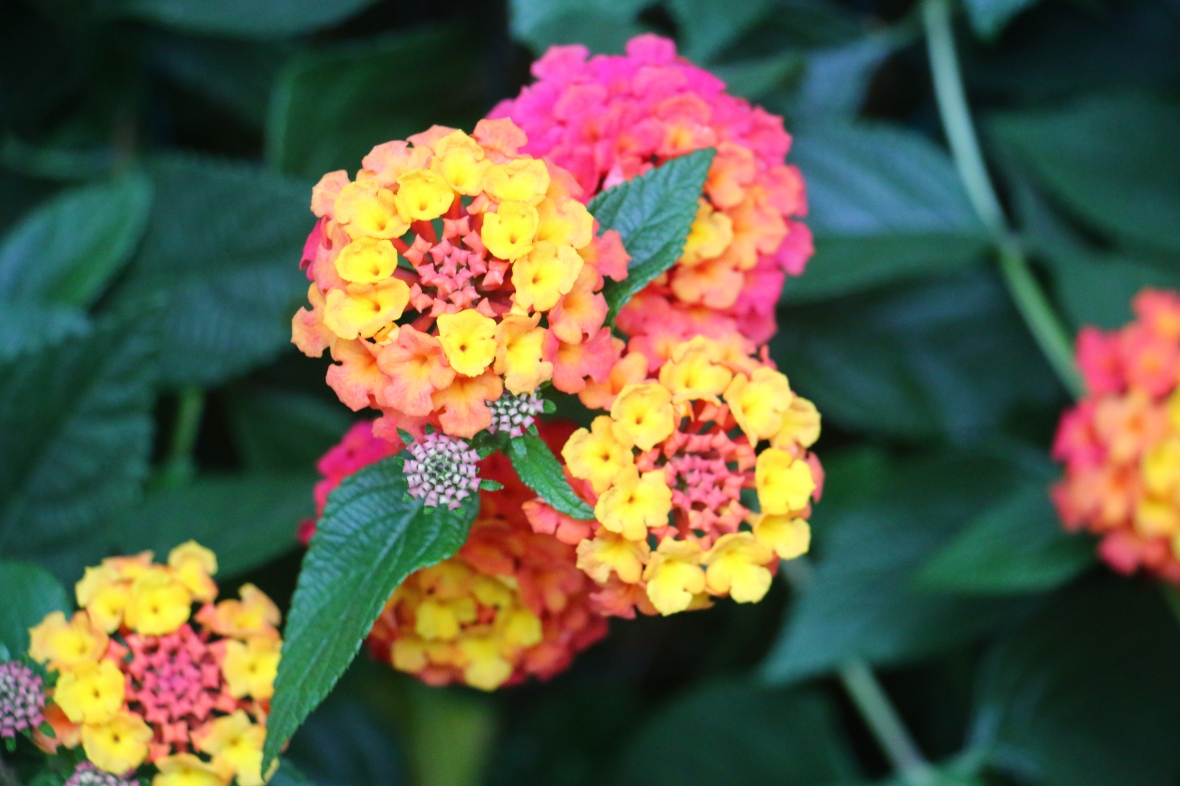 Pink & Yellow Lantanas