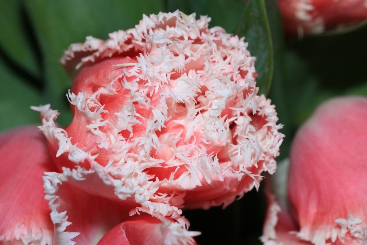 Pink & White Flame Tulips Macro II