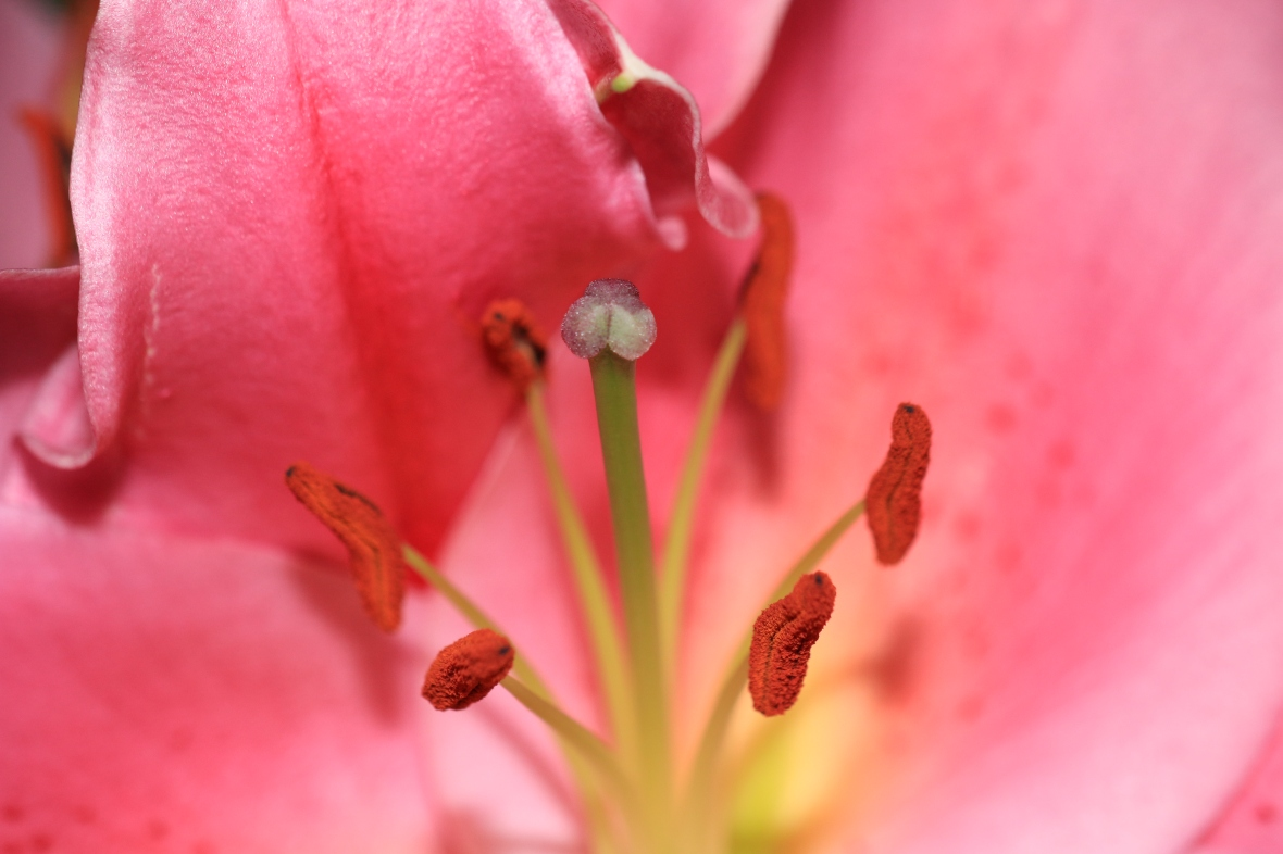 Center Of A Stargazer Lily Macro Shot