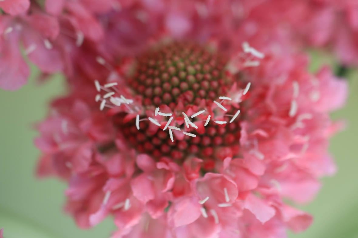 Pink Scabiosa (Crown)