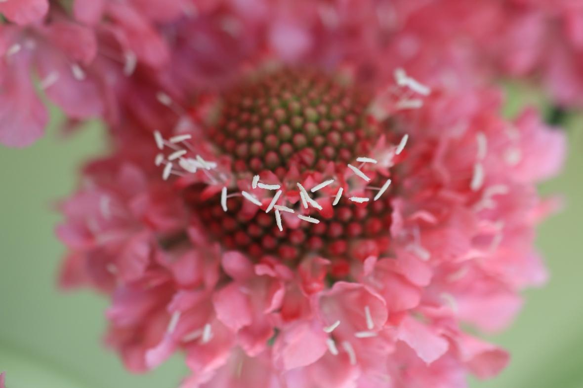 Pink Scabiosa (Crown)
